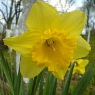daffodil wikmedia