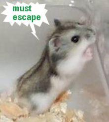 dwarf hamster 5