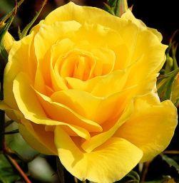 yellowrose 03